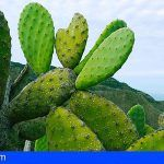 Estudian el impacto del cambio climático en la flora de Tenerife y Gran Canaria