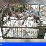 Incautan en Gran Canaria cinco ejemplares de aves exóticas invasoras, a la venta en Internet