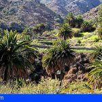 Tenerife | Detectan unos 5.000 ejemplares de palmera canaria en 24 zonas de conservación