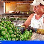 Gobierno y productores de plátano de Canarias defienden este martes los intereses de los agricultores de las Islas en el Comité Mixto europeo