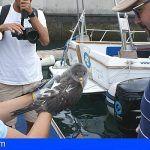 Tenerife | La Tahonilla atiende a más de 2.000 pardelas