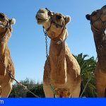 Más de 40 camellos de Oasis Park participan en las cabalgatas de Reyes de Fuerteventura