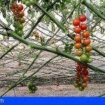 UGT Canarias apoya la medida del subsidio a las trabajadoras del tomate