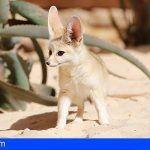 Oasis Park Fuerteventura recibe a tres fénec, el zorro más pequeño del mundo