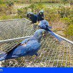 Loro Parque | Seis loros en peligro de extinción nacidos en Tenerife vuelen en su medio natural en Brasil