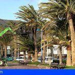 Inician los trabajos de poda y limpieza del palmeral de San Sebastián de La Gomera