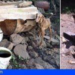 Miles de animales son maltratados en Canarias, encadenados, sin agua ni alimentos
