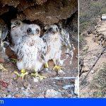 Tenerife refuerza la vigilancia en los nidos de halcón tagorote