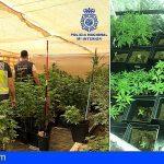 Fuerteventura | Tenía un invernadero con 315 plantas de marihuana en su casa