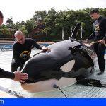Loro Parque fomenta un método para  estudiar cómo oyen las grandes ballenas