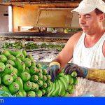 Los productores de plátanos reciben 70 millones en ayudas directas del Posei