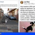 Loki! el perrito huidizo que trajo de cabeza al pueblo de Cardones en Las Palmas