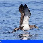 Tenerife lanza una campaña para proteger los primeros vuelos de las pardelas