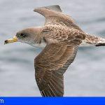 Más de 500 ejemplares de Pardela han sido recuperados en Tenerife gracias al Cabildo
