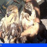 La Palma | Investigado por poseer 2 aves rapaces protegidas sin documentación legal