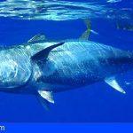 Renovada la regulación internacional del Atún atlántico sobre conservación y ordenación