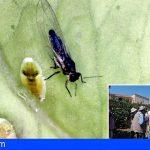 Canarias pone freno a la expansión de la psila africana en los cultivos de cítricos