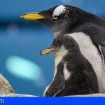 Loro Parque recibe el año dando la bienvenida a varias crías de pingüino