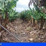 El temporal de viento y calima causa graves daños en las plantaciones plataneras de las Islas