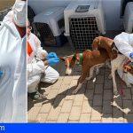 Gran Canaria   Vacunan y desparasitan los 84 perros confiscados en una finca de Agüimes