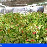 Canarias | Agricultura y Agroseguro agilizarán el pago de las indemnizaciones para el sector de la flor cortada
