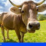 Oscar Izquierdo | La cola de la vaca mira a derecha e izquierda