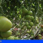 Canarias abona 5,8 millones del POSEI a productores de tomate de exportación y forraje por hectárea