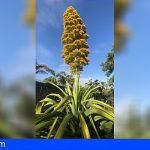 Tenerife | El Agave caribeño gigante del Jardín Botánico florece tras 30 años de espera