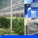 Intervienen 1.100 plantas de marihuana en Guía de Isora y detienen a 5 personas