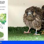Tenerife | Medio Natural pide extremar las precauciones si se hallan crías de ave fuera de sus nidos