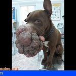 Ayuda para Hope! una pitbull abandonada en Gran Canaria con un tumor en el hocico
