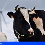 Tenerife destina 146.000€ al sostenimiento del ganado vacuno de raza basta