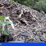El Cabildo de Tenerife recupera la única población en Teno de rejalgadera, especie vulnerable