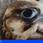 Un halcón tagarote recuperado vuelve a surcar el cielo de Gran Canaria