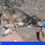 Terrible caso de maltrato animal en Teguise, Amordazan hasta asfixiar a un perro callejero