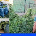 Un hombre investigado en Santa Úrsula por una plantación de 55 plantas de marihuana
