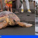 Gran Canaria libera la tortuga de mayor tamaño recuperada en 12 años, tras varar herida por redes y plásticos