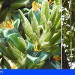 El Jardín Botánico de Tenerife asiste a la espectacular floración de la puya chilena y la kigelia africana