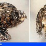 Gran Canaria recibe 250 búhos chicos heridos al año, el último murió cubierto de pegamento para ratones