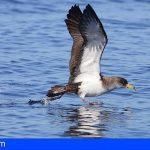 Tenerife pone en marcha una nueva campaña de recogida de crías de pardela