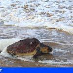 Fuerteventura | Una tortuga vuelve al mar en Cofete, tras dos años de rehabilitación