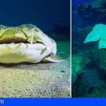 El proyecto Acusquat II de la ULPGC permitirá monitorizar en aguas profundas al angelote, en peligro de extinción