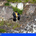 Tenerife convierte en compost más de 18 toneladas de flora exótica extraída del Chinyero