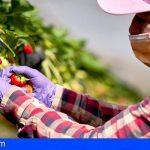 HiperDino se alía con los productores canarios para la temporada de fresas