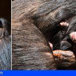 La vida se sigue abriendo paso en Loro Parque con el nacimiento de una cría de chimpancé