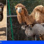 Nace el primer camello bactriano en Canarias