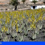Canarias convoca ayudas para los productores de aloe vera y olivo