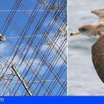 Cabildo de Tenerife y Red Eléctrica protegerán pardelas y aves de hábito nocturno de vuelo