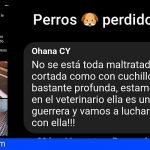 Reencuentra a su perra perdida con heridas de arma blanca en Firgas – Gran Canaria