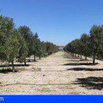 El Cabildo de Tenerife fomenta el olivar para reactivar la agricultura en zonas de medianías